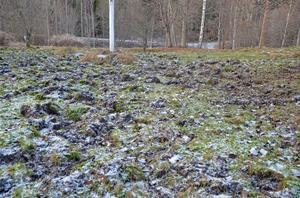 Gräsmattan ser mest ut som en nyplöjd åker sedan vildsvinen har varit där och bökat.