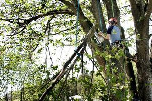 SÅGAR TRÄDET. Scott Forrest från Nya Zeeland är en av de som klättrar upp i den sjuka almen vid Gustavsbrorondellen för att såga ner den. Linor håller fast honom så att inte hela hans tyngd läggs på grenar som kan brista. Hela nedsågningen och att städa efteråt tar en hel arbetsdag.