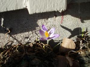 Det här vårtecknet hittade vi i solskenet i vår trädgård söndagen den 6 mars. Det finns hopp för att våren äntligen är på väg.