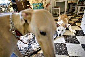 Greyhounden Elva och Alaskan Malamutehunden Chabo är vänner.