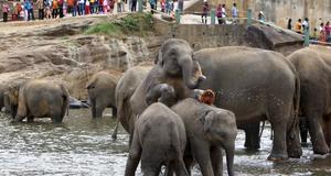 Turisterna tittar på elefanterna vid Pinnawala.