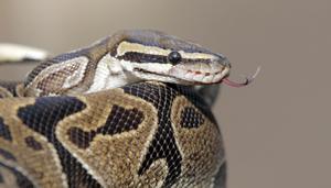 Pytonormen tillhör en familj med cirka 30 olika arter. De lever i tropiska och subtropiska områden.