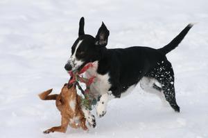 på bilden är det min kusins hundar som busar i snön.