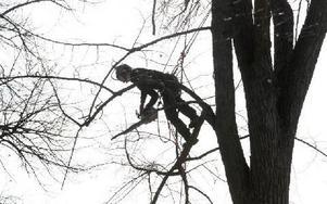 Med såg kapar arboristen grenarna i linden. Foto: Curt Kvicker
