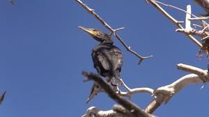 Storskarv, eller mellanskarv som de här också kallas, kan flyga flera mil för att fiska.