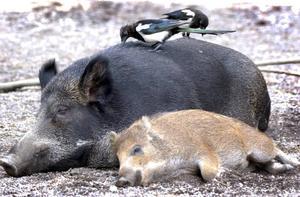 Ett par skator försöker hitta något ätbart på en vildsvinssugga och hennes kulting under ett försök till vila på Skansen i Stockholm. Skatorna har långt fler neuroner i hjärnan än vad svinen har.    Foto: Ingvar Karmhed/TT