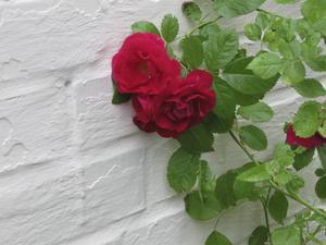 Rosorna var förföriskt vackra.