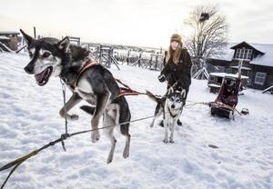 Sex topptränade Siberian Huskys skuttar ivrigt av förväntan inför dagens träningspass på skoterspåren runt Strömsund framför Dalia Ramströms träningssläde.