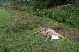 Åtta tackor hos Oviken ost, i Häggen, har hittats rivna, troligen av varg enligt besiktningsmän från Länsstyrelsen.Foto: Alf Kjellström, Länsstyrelsen