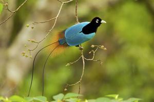 Den blå paradisfågeln finns bara i bergen på östra Nya Guinea. Nu hotas den av temperaturhöjningen.Tim Laman/TT