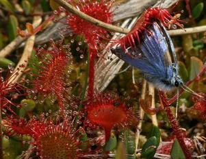En vacker blåvinge flög för nära ett sileshår och fastnade, med katastrofala följder för fjärilen men ett skrovmål för sileshåret.