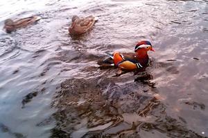 Några gånger per vecka brukar Anders Ydstål mata änderna som simmar i Faxån alldeles nedanför hans hus. I onsdags kväll dök den här färgstarka upp.