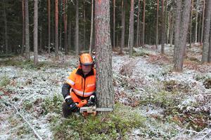 Anders Berglund riktar in motorsågen för att fälla trädet.