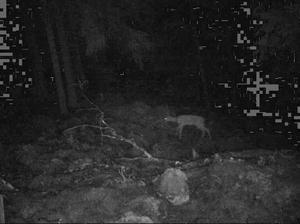 Åtelkameran fungerar också på natten och även här är det ett rådjur.