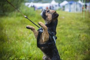 Lilla Malte som bara är 1,5 år gammal har lärt sig tekniken nosework. Han och matte  Marie Larsson har utövat hundsporten sedan december förra året.