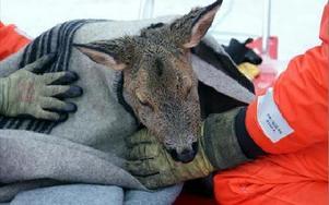 Signe räddades från att drunkna men tyvärr fick en jägare avliva henne senare.FOTO: ANGELICA LINDVALL