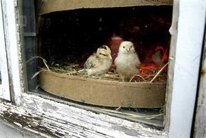 21 april 2006. Bakom glas. Några Åsbo- och Hedemorakycklingar är det enda med fjädrar som visas på Vallby friluftsmuseum. Fåglarna måste hållas inomhus på grund av risken för fågelinfluensa.
