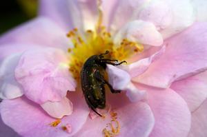Förortsros. Rosa pimpinellifolia Stanwell Perpetual, är en ljuvligt vacker ros, som har sitt namn efter den by utanför London där den hittades på 1800-talet.