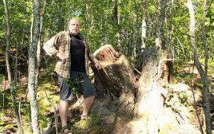 Charlie Ekengren vid de stora stubbar som återstår efter de gamla asparna på Roxnäs udde. Träden var ruttna i mitten vilket gjorde dem attraktiva för hackspettar och andra djur. Foto: Sylvia Kjellberg