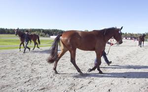 Ett och tvååriga hästar visades upp på  unghästutställningen