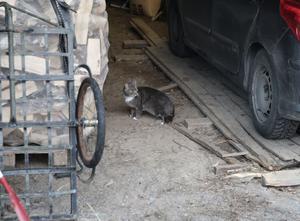 I slutet på oktober dök den grå katten upp bland uthusen vid gården i Gräsberg.