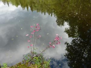 SpeglingSkogen speglar sig i det spegelblanka vattenytan.En akleja har rotat sig i vattenbrynet.