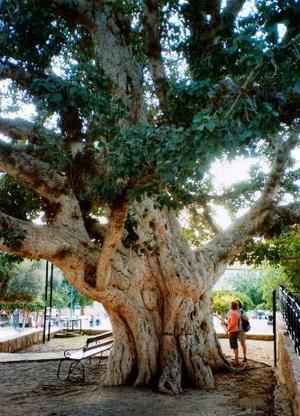 Här ses en 600-åring i form av ett mullbärsfikonträd som växer invid det vackra venetianska klostret mitt i centrum av Agia Napa på Cypern.          Foto: ROLF G. SVEDBERGH