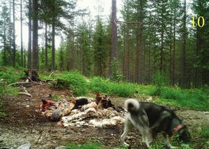 I bland annat Dalarna har flera åtlar hittats och polisen misstänker att syftet är att locka rovdjur till platsen.