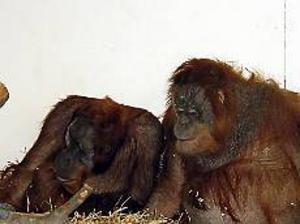 Foto: FURUVIKSPARKEN Kära. Furuviksparkens envisa orangutanghona Igge har äntligen godkänt en partner, Naong från Basel zoo. I förra veckan såg djurskötaren hur de parade sig, och enligt veterinären har Naong påbörjat förvandlingen från tonåring till mogen hanne. Ett tecken på att han hittat en hona att dominera.