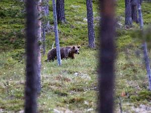 En av många björnar i trakterna runt Lofsdalen. Den här, liksom de flesta, höll sig i skogen.