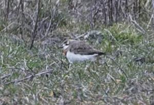 Kaspisk pipare. Så ser den ut. Fågeln är en hanne med ett vackert rostrött band över bröstet.