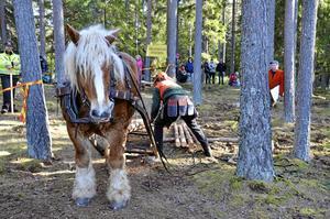 Tålmodig bjässe. Ardennern Bläsen står snällt still medan kusken Pär Eriksson ordnar lasten. BILD: ELISABETH PETTERSSON