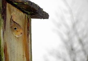 Hedersomnämnande. Mamma ekorre sprang förbi fönstret och jag insåg att förra årets ekorre är tillbaka i fågelboet. Men denna gång var mamma ekorre vakt åt sin lilla bebis som nyfiket nog tittade ut när jag kom för att fotografera lite.