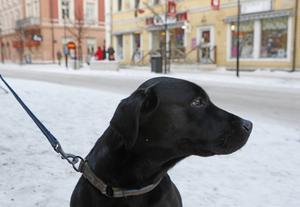 Labradortiken Tiara är en av många hundar som får julklappar varje år.