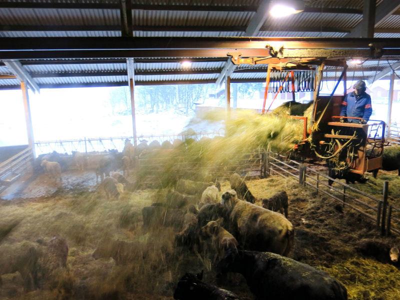Tjur och kossor attackerade kvinna