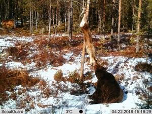 En liten björn ger sig på en  en åtel med rådjur som egentligen skulle locka järvar.