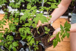 Inför årets frösådd valde Louise Gustafsson nio olika sorters tomater. Så snart frostrisken är över, och spaljéer och växthus är på plats, får platnorna flytta ut i trädgården.