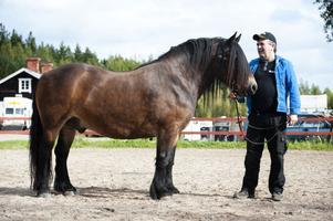 En maffig häst att vara stolt över, och som väckte stor beundran, har Nils-Olov Janises i nordsvenska brukshästen From. Som synes ser Nils-Olov ganska liten ut på bilden bredvid sin stadige kompis.