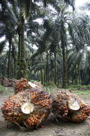 Anläggandet av oljepalmsplantager i Sydostasien har medfört att enorma arealer regnskog har skövlats. På bilden har fruktklasarna just skurits ned från oljepalmerna på en plantage på Sumatra, Indonesien.