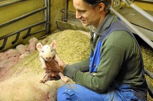 Liten. Kultingen som Ludvig Nilsson håller i får stanna på gården i Spångboda tills den vägar 30 kilo, då går flyttlasset till nästa grisgård.