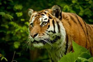 Tigrarna i templet vid Kanchanaburi far illa, enligt nya rapporter.