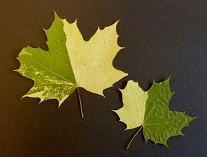svampangrepp eller mutation? Meningarna om vad som hänt med löven går isär bland experterna. Professorn Stefan Jansson hävdar att det rör sig om en genmutation medan ekologen Ralf Lundmark menar att det rör sig om ett svampangrepp.Foto: Maiken Lindberg-Murén$RETURN$$RETURN$
