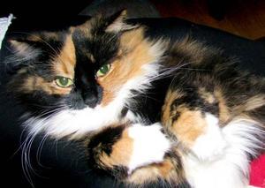5. Ronja, Sandviken. Fyraåriga Ronja ser ut som en prinsessa, men rör sig som en lejonhona enligt matte Kjerstin Lundblad. Ronja är en riktig husse-katt och älskar att sitta i husses knä och när hon ska äta vill hon helst bli upplyft på skåpet så att hon får  lugn och ro.