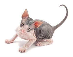 Många allergiker tål sphynxer bättre än katter med päls.