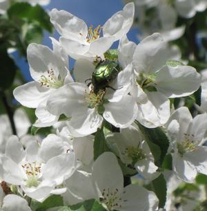 Under arbetet i trädgården hörde jag ett brummande ljud bland alla surrande bin och då jag tittade efter, där på äppelblommen, satt upphovet till ljudet. En underbart vacker grönskimrande Guldbagge satt och lät sig väl smaka av vad som erbjöds.
