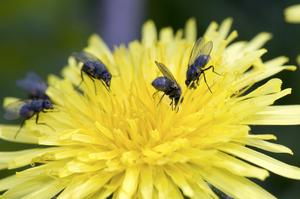 Dessa små flugor verkade inte ha något emot att samsas i samma lilla blomma.