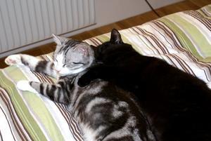 Jag hittade våra två katter, Rambo och Rocky, på vår säng och den äldre höll om den yngre. Rambo som är svart är väldigt svår att ta kort på, men man kan se att han håller sin tass runt Rocky.