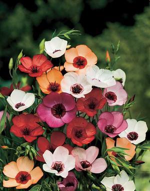 'Charmer mixed'. Blomsterlin är mycket lättodlad och anspråkslös. Du direktår den där du råkar ha en tom plätt. 'Charmer mixed' är en fin färgblandning, alla med kontrasterandemitt.Foto: Jennys frön och sånt