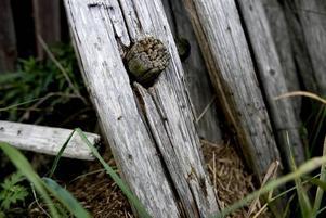 Ovälkomna gäster. Skogsmyrorna har sökt sig nya vägar, in i Karl-Gunnar Berglunds förråd.