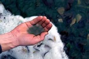 Blommar. Först år 2020 kan vi räkna med att helt slippa algblomningar i Storsjön som ställer till det för både badande och husdjur.